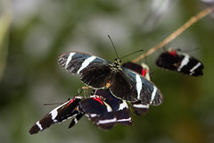 Antiochus longwing butterflies (Heliconius antiochus) (Ian Redding) Tags: amazon antiochuslongwing fauna heliconiid heliconiusantiochus mullerianmimic nature nymphalidae panama wildlife butterfly closed flock group insect mass mimicry underside wings