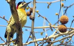 DSC_0591 (rachidH) Tags: birds oiseaux woodpecker pic greenbarredwoodpecker colaptesmelanochloros picvertetnoir carpinterorealnorteo bosquesdepalermo palermo woods buenosairesecologicalreserve reservaecolgicadebuenosaires reserve national park buenosaires argentina rachidh nature