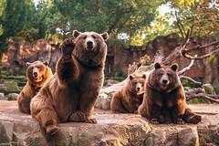 Grizzlies team (Pacnidas) Tags: madrid casadecampo samyang35mmf14 rokinon35 rokinon samyang 35mm osopardo osos sonya7 a7 fullframe spain espaa samyang35mmf14asumc bear bears