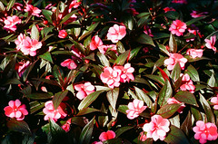 1609_YashE35GT_013.jpg (OldChE) Tags: activity cantigny coloryashinondx45f17 film flowers kodakgold200 museums places yashicaelectro35gt