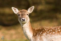 Dyrham Park (NT) 20161103-0853 (Rob Swain Photography) Tags: deer dyrham england unitedkingdom gb