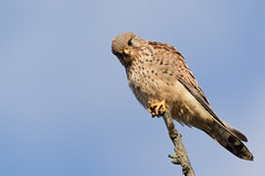 Common kestrel - Turmfalke (rengawfalo) Tags: common kestrel commonkestrel falke turmfalke greifvogel vogel bird falcotinnunculus
