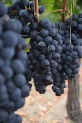 In the sun (luus_nagtegaal) Tags: wine grapes druiven wijn zon sun france frankrijk vakantie holiday