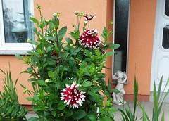 Dahlien (kirstenreich) Tags: blumen pflanzen flowers blten dahlien