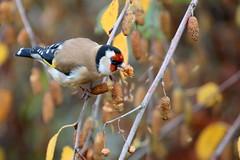 chardonneret lgant ( Carduelis carduelis ) Auray 161116z2 (pap alain) Tags: oiseaux passereaux fringillids chardonneretlgant europeangoldfinch auray morbihan bretagne france cardueliscarduelis