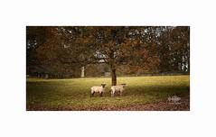 Autumn Sheep (silver/halide) Tags: sheep autumn leaves trees oaktree lanhydrock nationaltrust d750 johnbaker cornwall warm