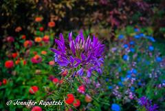 Flower power (Bernsteindrache7) Tags: autumn color flora fauna flower garden bloom blossom blume outdoor landscape park sony alpha 100