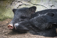 Two peccaries together (Tambako the Jaguar) Tags: pecari black pig two together lying love portrait nose papiliorama kerzers bern switzerland nikon d5 explore peccaries peccary