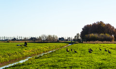 Egyptian geese in the November sun . . (Eduard van Bergen) Tags: holland niederlande netherlands dutch nederland groot ammers alblasserwaard molenwaard liesveld liesvelt still picture photo foto photograph fields trees woods outdoor landscape plant grass field grassland plain farm boerderij cattle lifestock vee farmer wife apron culture milk cheese butter living life serene stroll tree park sky frau antje horizon graafland meadow wei geese goose vista flying airborn birds birdwatching autumn herbst herfst fall nile mill miller molen moulin anatidae alopochen aegyptiaca vosgans tadorninae