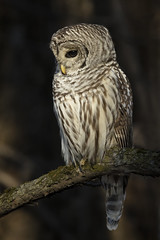 Chouette rayee / Barred Owl (fpoet_63) Tags: chouette raye barred owl shade dark background