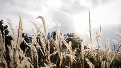 Meadows of Heaven (Hunh Anh Kit) Tags: kietbull field blooming golden afternoon light shining sunshine x30 heaven meadows nightwish vietnam countryside suburb