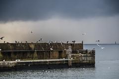Birds gathering under a dark Sky (Infomastern) Tags: smygehuk bird fgel pier pir pirarm