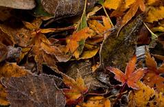 1DX_2219 (felt_tip_felon®) Tags: leaf leaves leaflitter frost morning dew firstlight autumn season seasonal green garden macro light golden tones patterns stem twigs colour