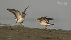 The Morning Dance (Tauseef Zafar (Digital Fly)) Tags: morningdanceclass dancingbirds littledancingbirds sandpipers haripur kpk pakistan birdsofpakistan waterbirds