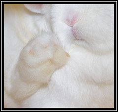 Furry Face And Foot (Margaret Edge the bee girl) Tags: rabbit white netherlanddwarf foot paw face nose mouth animal lapin