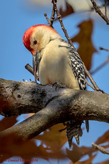 The tongue (danielusescanon) Tags: lakeneedwood wild tongue feeding redbelliedwoodpecker melanerpescarolinus picidae piciformes maryland birdperfect animalplanet