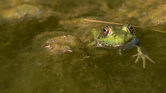 Peeking From the Pond (Ken Krach Photography) Tags: frog