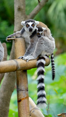 DSCF0440_1_2_natct (naofumitaguchi) Tags: xm1 fujifilm tokyo japan 富士フイルム 東京 日本 naofumitaguchi ワオキツネザル wolverine lemur monkey 猿 サル 動物 野山の動物 生き物