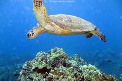 IMG_0117 copy (Aaron Lynton) Tags: spanish dancer snorkel scooter maui hawii hawaii canon g1x spanishdancer turtle honu tako octopus ocean animals papio yellowspotpapio starfish
