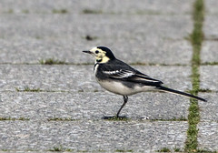 Pied Wagtail (1) (grahamh1651) Tags: helstonboatinglake birds gulls ducks geese waterbirds swans