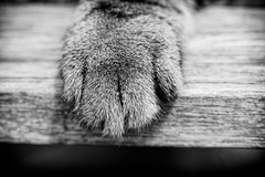 'Forever Paws' (Jonathan Casey) Tags: cat paw nikon d810 zeiss 135mm f2