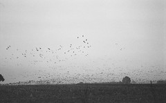 We are not alone (Rosenthal Photography) Tags: 20161104 asa400 landschaft gnse ff135 expired2003 landscape ilfordxp2 vgel nebel fog tiere olympus35rd analog geese goose mist