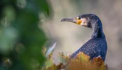 Cormorant, Queens Valley, Jersey. (Tim_Horsfall) Tags: cormorant bird jersey canon 400mm wildlife nature queens valley animal