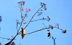 Waxwing 1 (Sybalan,) Tags: birds blueskies benmoregardens argyllandbute water wildlife westcoast woodland wild wood trees tranquility botanicalgardens cowal canon 760d mist outdoor ornithology landscape