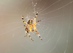 Garden Spider (jdathebowler Thanks for 1.4 Million + views.) Tags: spider arachnid gardenspider greatphotographers naturescall