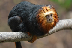 Golden-headed Lion Tamarin (Truus & Zoo) Tags: england london animals unitedkingdom endangered engeland londonzoo londen dierentuin leontopithecuschrysomelas goudkopleeuwaapje goldenheadedliontamarin verenigdkoninkrijk