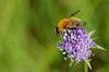 Gelbbraune Gebirgsschwebfliege (Arctophila superbiens), Holzwarchetal, Mürringen, Ostbelgien (Frank.Vassen) Tags: ostbelgien mürringen holzwarchetal holzwarche natura2000 arctophila arctophilasuperbiens gebirgsschwebfliege gelbbraunegebirgsschwebfliege syrphidae gx7 diptera hoverfly batesianmimicry mimicry mimikry