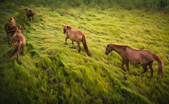marsh grass mares (Jen MacNeill) Tags: above wild summer horses horse green beach nature grass animals island nationalpark md nps maryland pony chestnut ponies marsh herd assateague nationalseashore greasses littledoglaughedstories