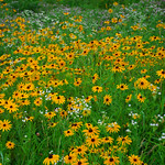Field of Flowers - 1 thumbnail