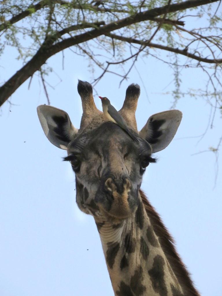 The world 39 s best photos of giraffe and madagascar flickr - Girafe madagascar ...