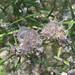 Furry sea hare (Stylocheilus sp.)