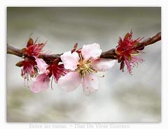 Entre las ramas - Diaz De Vivar Gustavo (Diaz De Vivar Gustavo) Tags: las flores color primavera de arbol photo arte flor rosa gustavo entre rama diaz ramas durazno floracion vivar duraznero