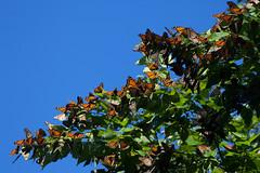 IMG_0907.jpg (erik oosterop) Tags: ontario canada fauna butterfly insect can leamington floraandfauna monarchdanausplexippus
