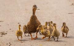duck's school (15) (Vlado Ferenčić) Tags: birds animals duckling ducks croatia hrvatska hrvatskozagorje zagorje nikond90 ducksfamily klenovnik sigma150500563 ducksschool