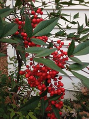 Season's Greetings to Everyone!! (Tammy Borko Photography) Tags: red nature bush berries nandina redberries nandinadomestica borko nandinashrub tammyborkophotography