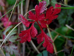 Feuille rouge Red leaf (alainpere407) Tags: autumn red fall automne rouge leaf brittany bretagne breizh feuilles finistre coth penarbed alainpere