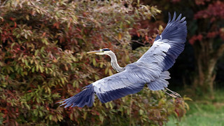 Herons at Muncaster Castle, Cumbria