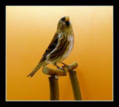 Sizerin (Acanthis flammea flammea) (dreams of the earth) Tags: jaune de rouge photo à pins des queue perruche ou cape mandarin bec blanc oiseau canaria pape fischer guttata rousse tête bleue magellan heck agapornis roseicollis diamant canari tarin phaeton noire cordonbleu chinensis pinus cuneata peinte linaria longue ondulée serinus melopsittacus undulatus spinus flavirostris cyanocephalus inséparable caille neochmia astrild magellanicus geopelia taeniopygia nymphicus hollandicus nouméa amadina uraeginthus linotte calopsitte bordure erythrocephala amadine ruficauda fischeri erythrura élégante poephila acuticauda phaéton psittacea cyanocéphale géopélie psittaculaire rosegorge excalfactoria