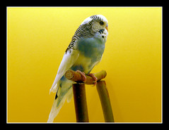 Perruche ondulée (Melopsittacus undulatus (Shaw)) (dreams of the earth) Tags: jaune de photo à pins des queue perruche ou cape mandarin bec blanc oiseau canaria pape fischer guttata rousse tête bleue magellan heck agapornis roseicollis diamant canari tarin phaeton noire cordonbleu chinensis pinus cuneata peinte linaria longue ondulée serinus melopsittacus undulatus spinus flavirostris cyanocephalus inséparable caille neochmia astrild magellanicus geopelia taeniopygia nymphicus hollandicus nouméa uraeginthus linotte calopsitte bordure ruficauda fischeri erythrura élégante poephila acuticauda phaéton psittacea cyanocéphale géopélie psittaculaire rosegorge excalfactoria