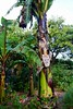 P1020763 (katredmond) Tags: sydney botanicalgardens sydneybotanicalgardens royalbotanicalgardens