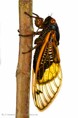 13-Year Periodical Cicada (J.P. Lawrence Photography) Tags: usa animals america bug cicada mississippi insect unitedstates united unitedstatesofamerica north insects places bugs your oxford northamerica states neighbours meet arthropods arthropoda invertebrate invertebrates entomology arthropod brood magicicada insecta myn periodicalcicada truebugs hemiptera xxiii cicadidae 13yearcicada meetyourneighbours broodxxiii tredecula magicicadatredecula 13yearperiodicalcicada