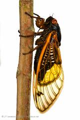 13-Year Periodical Cicada (J.P. Lawrence Photography) Tags: usa animals america bug cicada mississippi insect unitedstates united unitedstatesofamerica north insects places bugs your oxford northamerica states neighbours meet arthropods arthropoda invertebrate invertebrates entomology arthropod brood magicicada insecta myn periodicalcicada truebugs hemiptera xxiii cicadidae 13yearcicada meetyourneighbours broodxxiii tredecula magicicadatredecula 13yearperiodicalcicada