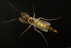 Lauschangriff (otto.hitzegrad) Tags: insekt flgel antennen fhler facettenauge