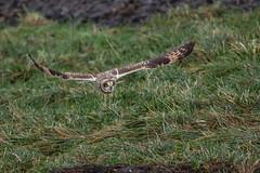 R15_9252 (ronald groenendijk) Tags: holland bird netherlands birds europe wildlife vogels natuur owl owls birdsofprey shortearedowl asioflammeus roofvogels uilen uili groenendijk velduil uiil ronaldgroenendijk cronaldgroenendijk
