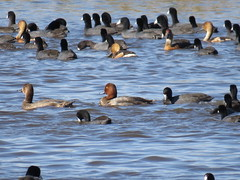 Redhead, American Coots and Fulvous Whistling-Ducks - Texas by SpeedyJR (SpeedyJR) Tags: nature birds texas wildlife redhead nwr coots americancoot anahuacnationalwildliferefuge anahuacnwr nationalwildliferefuges chamberscountytexas speedyjr ©2015janicerodriguez