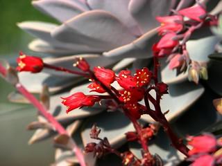 Echeveria affinis flowers